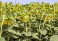 Gübretaş özel ayçiçeği gübresi geliştirdi