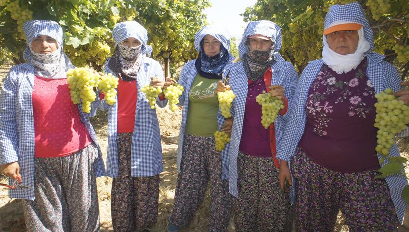 Superior seedless üzümünün ihracat yolculuğu başlıyor