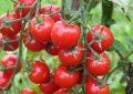Rusya, Türk domatesinin kotasını 250 bin tona çıkardı
